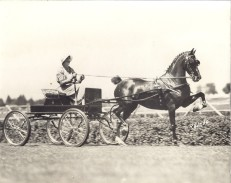 Mrs. Ruth Frank driving a carriage pulled by Aloma