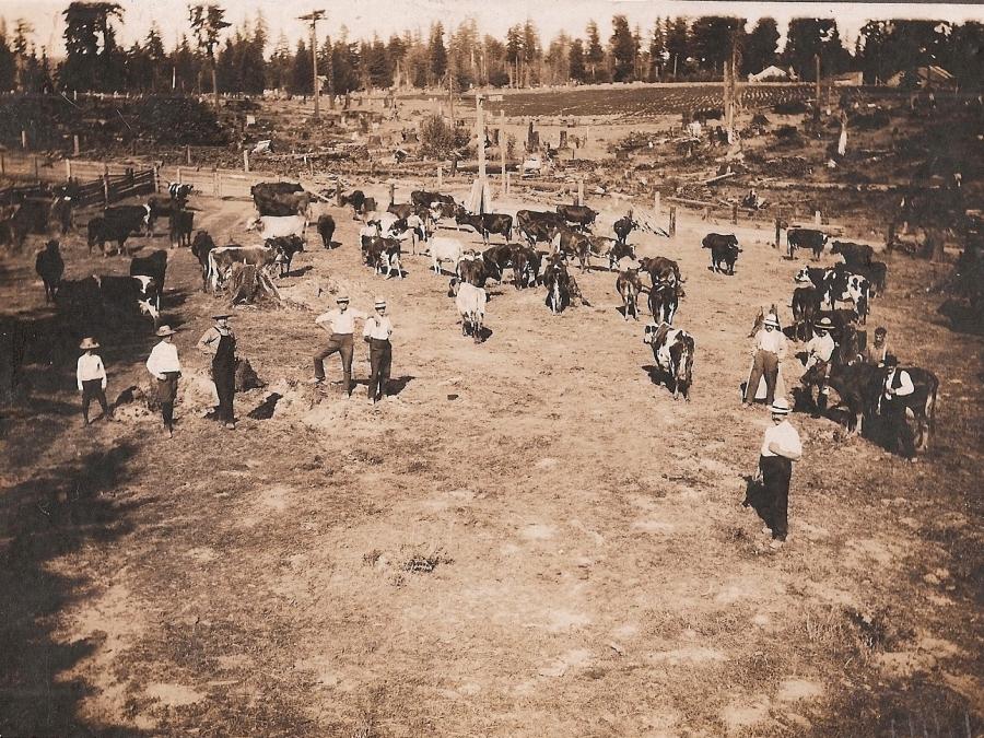 Shattuck Dairy - 10 men, 25 cows, stump farm in back