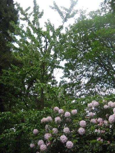 Schanen-Zolling dove tree (Davidia Involucata)