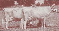 Feldman cows