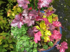 Heuchera pot