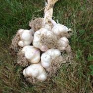Summer 2015 garlic
