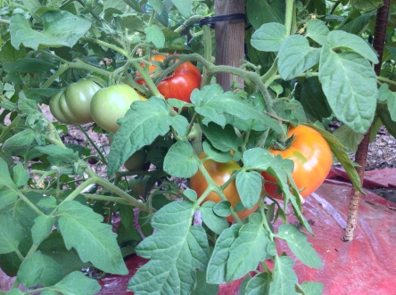Summer 2015 tomatos (photos courtesy John and Marie Pacella)