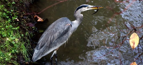 Blue Heron in Fanno Creek with lamprey - photo by Matt Miner