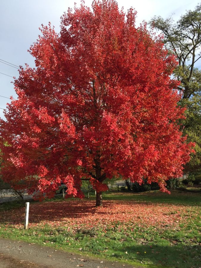 Bright red tree on SW Garden Home Road at SW 85th