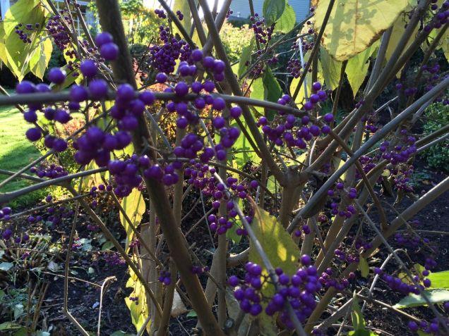 Purple Callicarpa