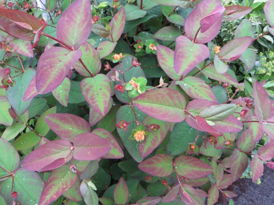 Hypericum Androsaenum purpurea