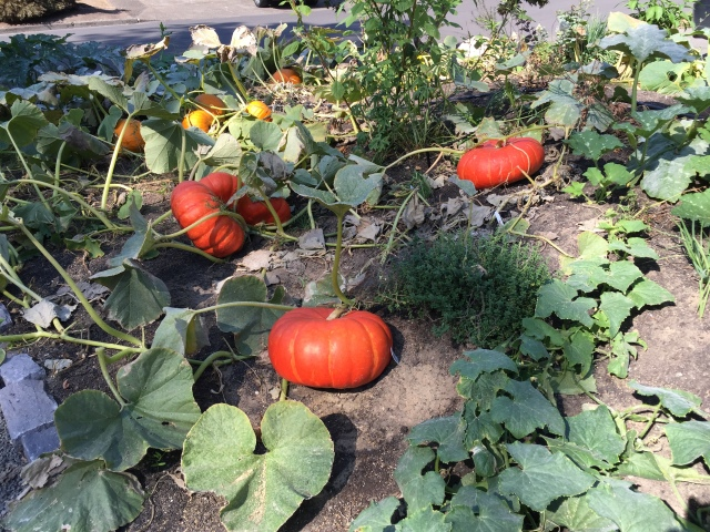 Garden Home pumpkins Sep 1, 2020