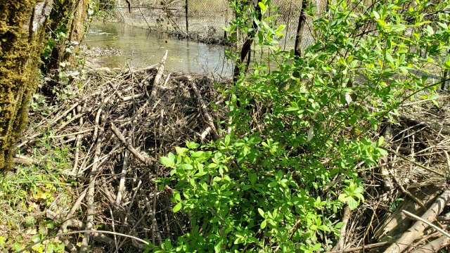 Beaver dam at Hideaway Park, April 2021